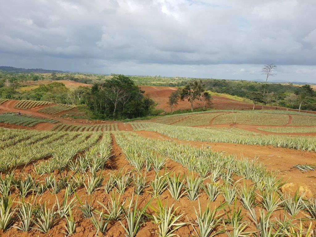 Colorada Fresh Pineapples Farm