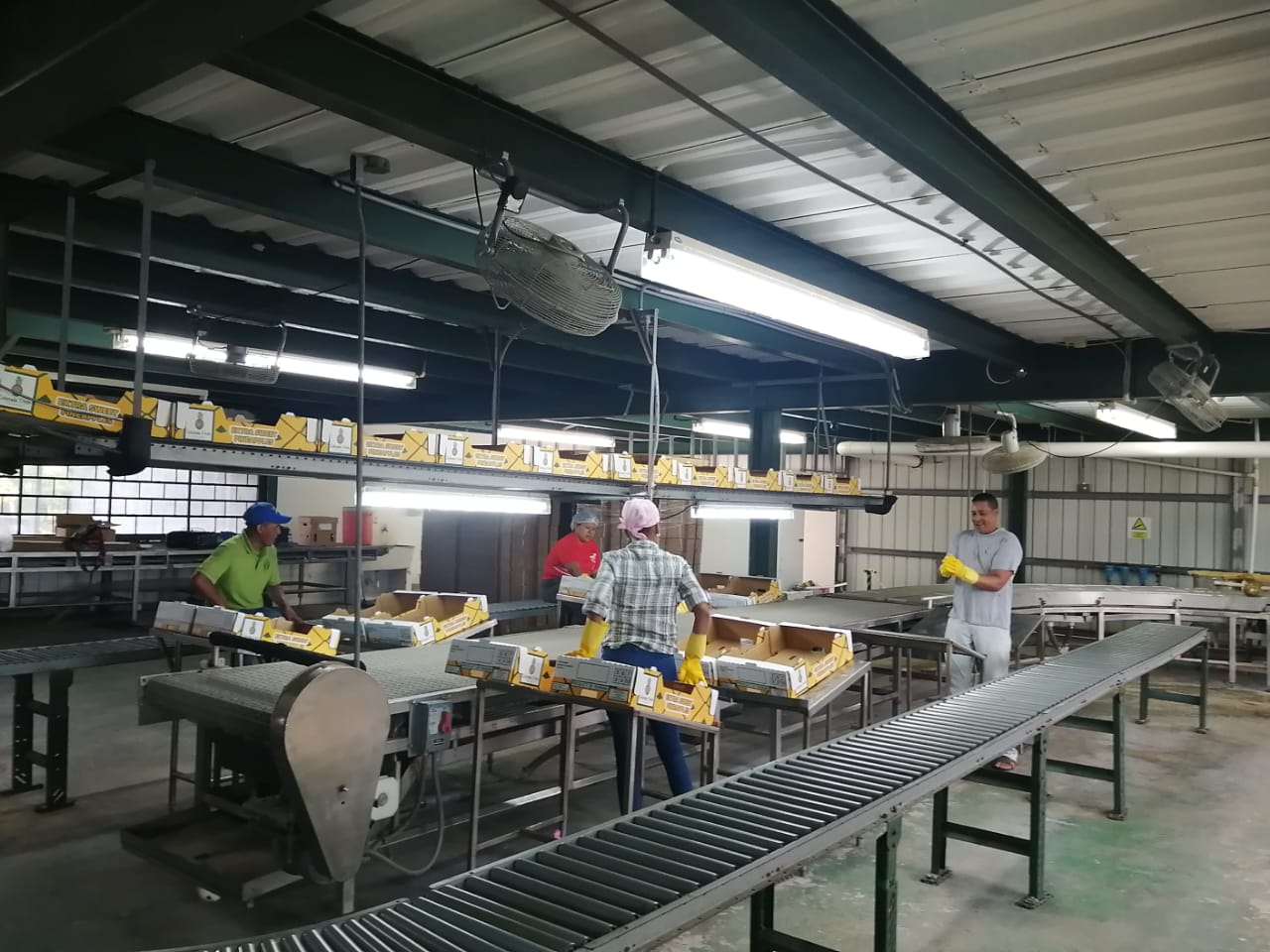 Colorada Fresh Pineapples in Packhouse for Export
